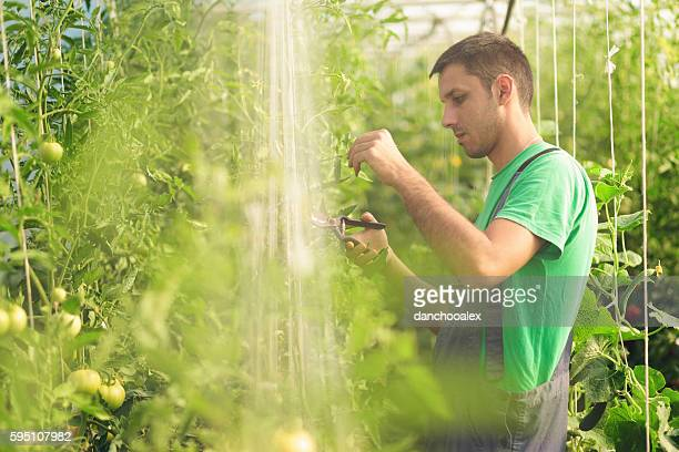 Young farmer working with tomato in green house