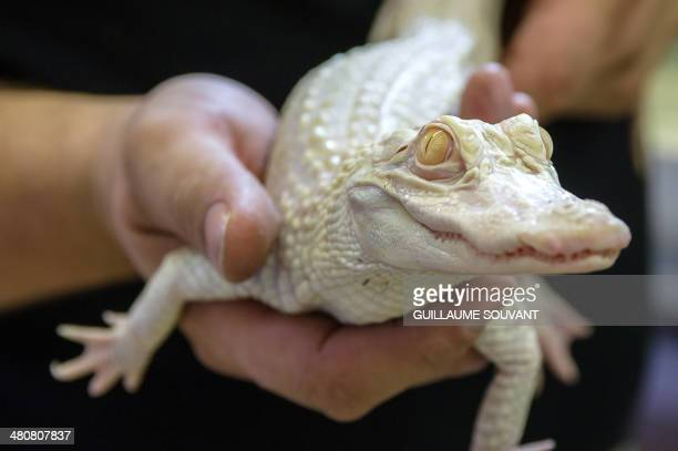 A young female albino alligator is seen on March 26 2014 at the park 'La planete des crocodiles' in Civaux near the French western city of Poitiers...