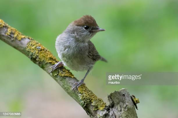 young female blackcap (sylvia atracapilla) - warbler stock pictures, royalty-free photos & images