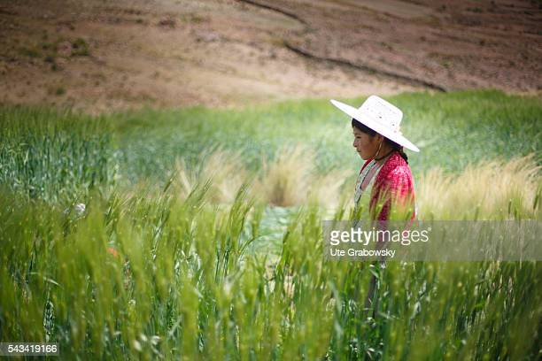 A young female farmer stands in a wheat field in the Andes of Bolivia on April 15 2016 in Sacaca Bolivia