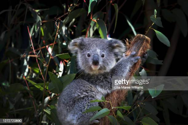 Young female koala fondly named 'Ash' is seen sitting on a Eucalyptus branch following a general health check at the Australian Reptile Park on...