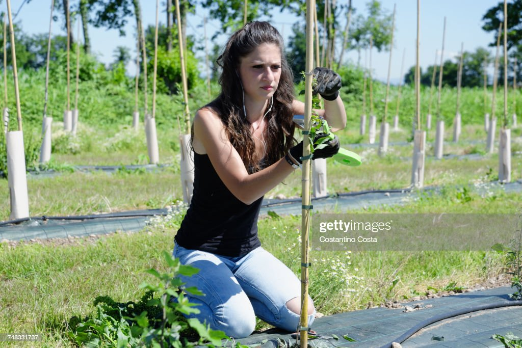 Young Female Plantation Worker Pruning Goji Berry Plant In Field