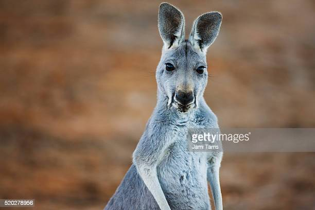A young female red kangaroo close-up