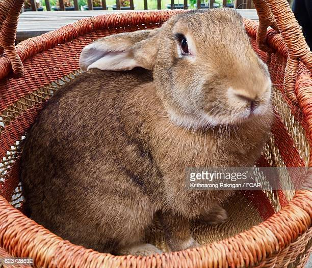 Young Flemish Giant in basket