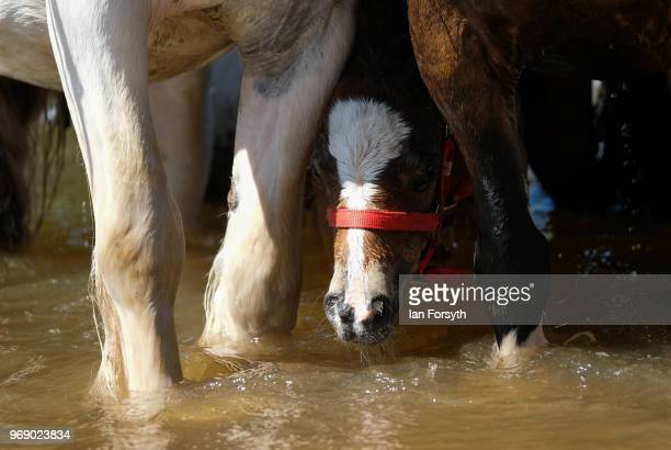 A young foal stands next to its mother as horses are taken to be washed in the River Eden on the first day of the Appleby Horse Fair on June 7 2018...