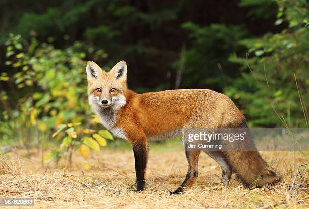 Young fox profile