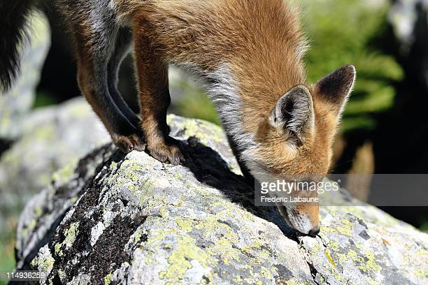 young fox was show along  path. - profil stock photos and pictures