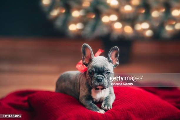 Young French Bulldog on cushion wearing red bow for Christmas