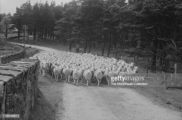 Young French shepherd herding large flock of sheep along a winding country lane with attractive stone walling lots of trees and a bicycle resting...