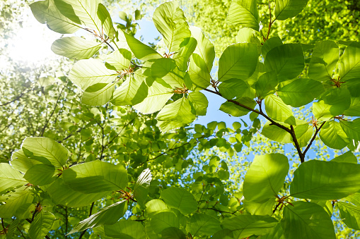 Young fresh green leaves in springtime - Closeup of beech leaves 1127549747