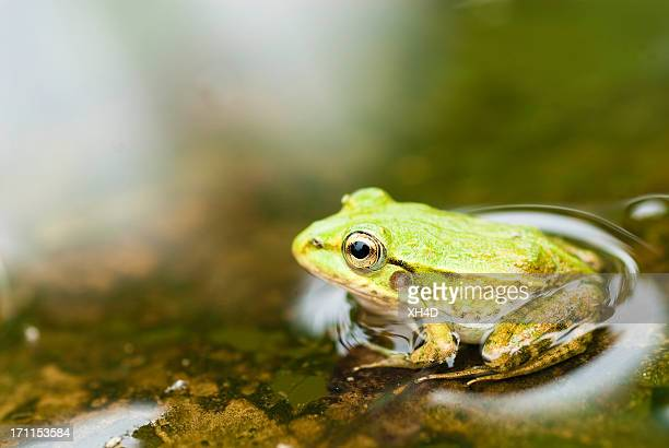 young frog - frog stock pictures, royalty-free photos & images