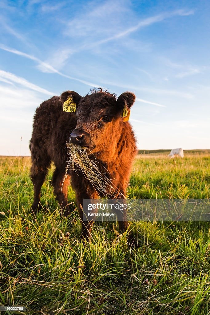 Young galloway : Stock Photo