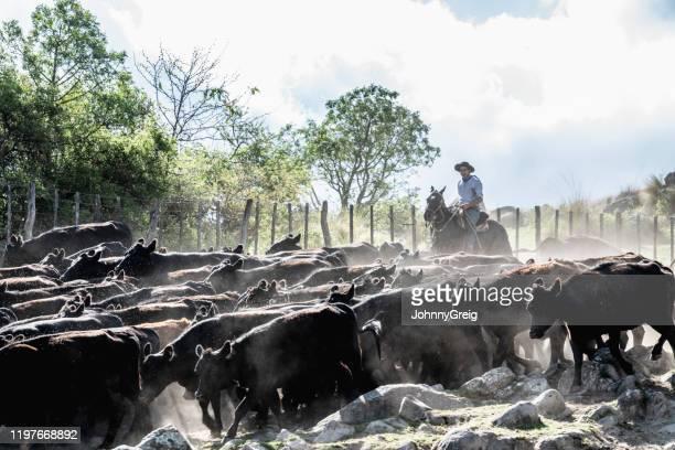 若いガウチョは、エンクロージャにアバディーンアンガス牛を飼育 - 家畜柵 ストックフォトと画像
