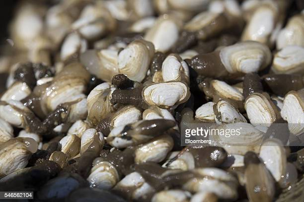 Young geoducks sit on a floating growing facility operated by the Taylor Shellfish Co near Olympia Washington US on Tuesday May 10 2016 Geoducks are...
