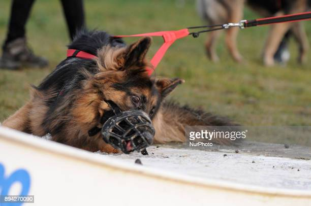 A young German shepherd is seen trying to lick the ice off a kiteboarding ramp in Bydgoszcz Poland on December 17 2017 A local group called HDR...