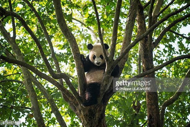 Young giant Panda sitting in a tree -  Chengdu
