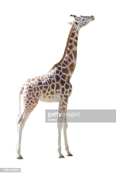 Young Girafe in full body isolated on white background Copy space