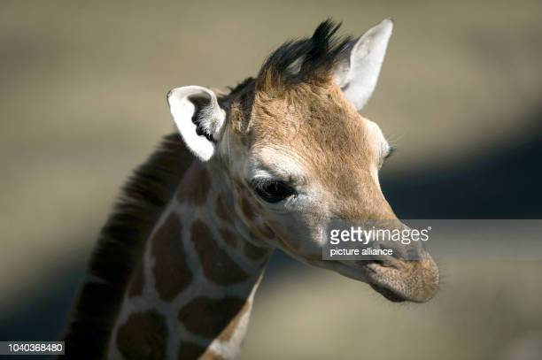 Young giraffe Madiba stands in its enclosure at the zoo Hagenbeck in Hamburg Germany 16 April 2014 The giraffe offspring was born on 06 April Photo...
