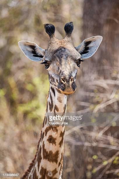 Young giraffe, Ruaha National Park, Tanzania