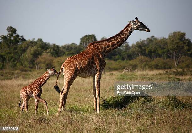 Young giraffe with mother on March 20 2009 in Masai Mara National Park Nairobi Kenya Named of the local ethnic group massai its a nature reseve north...