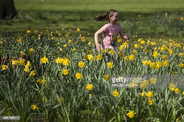 A young girl and her dog run among daffodils in the afternoon sunshine in Green park on April 7 2015 in London England N