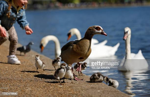 Young girl attempts to feed Egyptian geese chicks beside the Serpentine in Hyde Park in the Spring sunshine in London on April 23, 2021. - Under the...