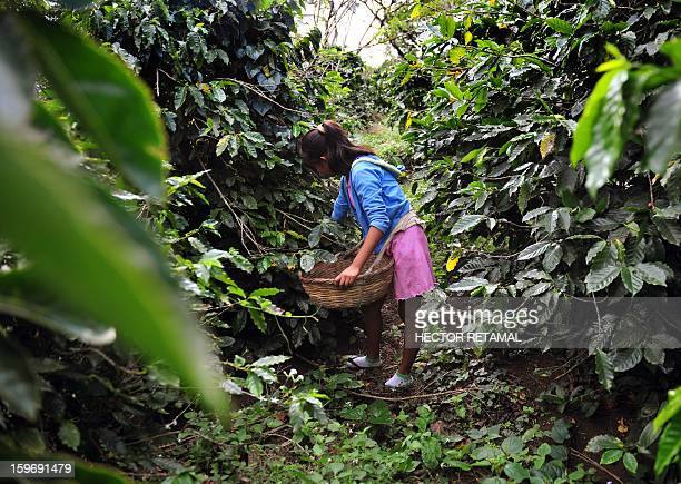 A young girl collects coffee beans at a farm in Cuatro Esquinas on the outskirts of Diriamba some 32 km south from Managua on January 17 2013 Central...