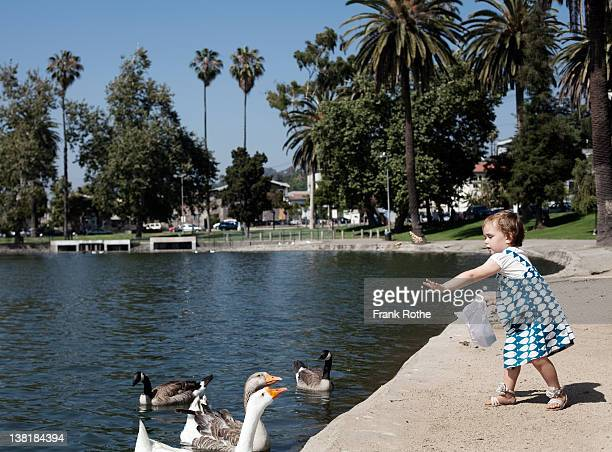 young girl feeding bread to geese and gooses