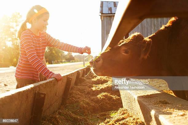 Young girl feeding farm cow