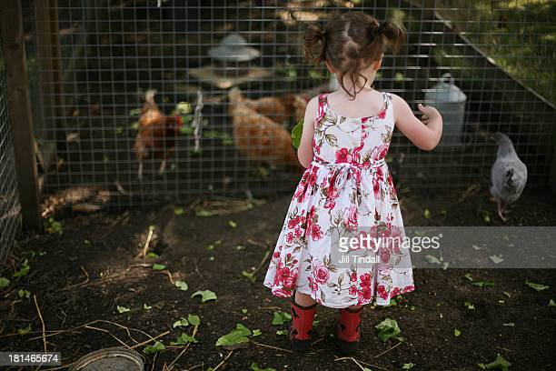 young girl feeding pet chickens in coop