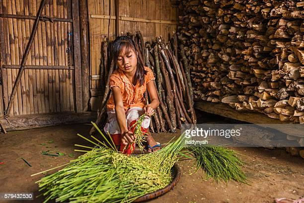 Young girl from hill tribe harvesting rice in Northern Laos