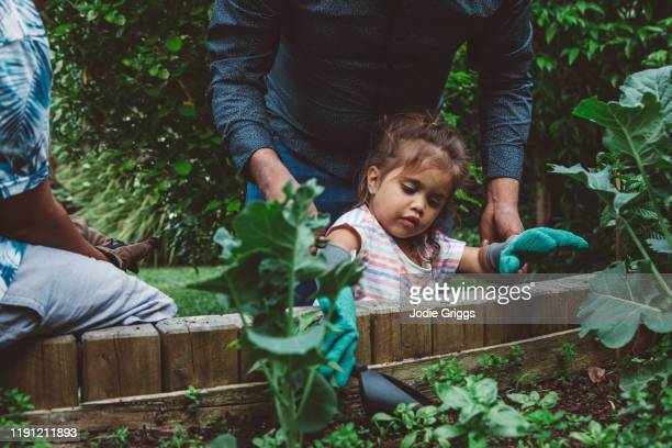Young girl gardening in the back yard vegetable patch with the assistance of her father