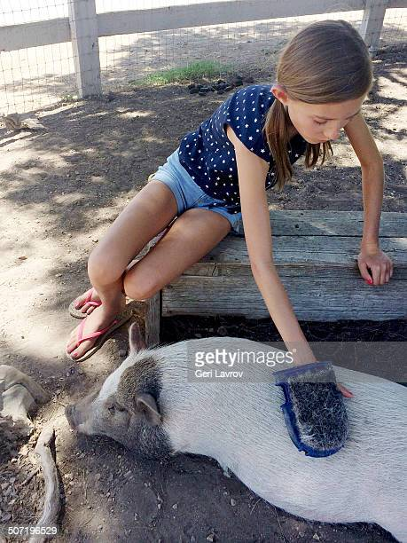 Young girl grooming a pig