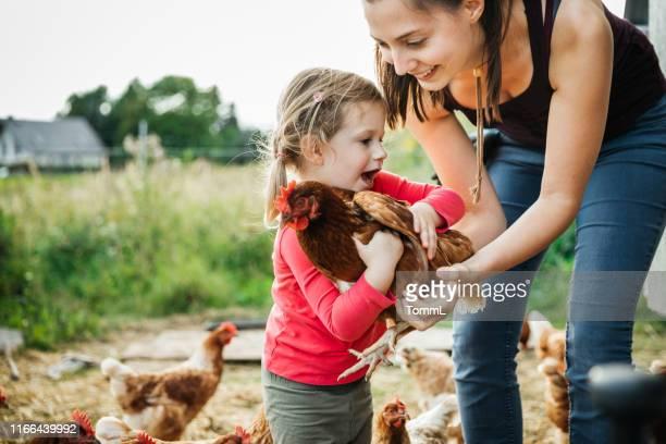 農場で鶏を扱う若い女の子 - 鶏小屋 ストックフォトと画像