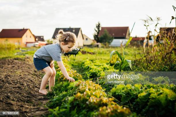 young girl helping family with harvest at urban farm - gemüsegarten stock-fotos und bilder