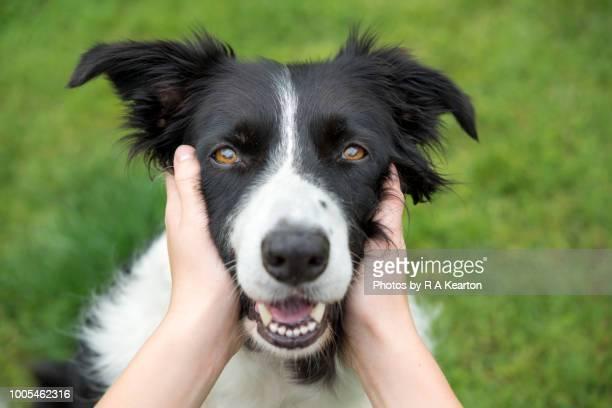 young girl holding head of a beautiful border collie dog - collie fotografías e imágenes de stock