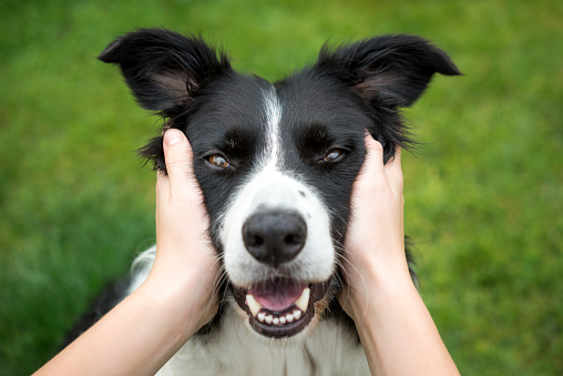 Young girl holding head of a Beautiful Border Collie dog - gettyimageskorea