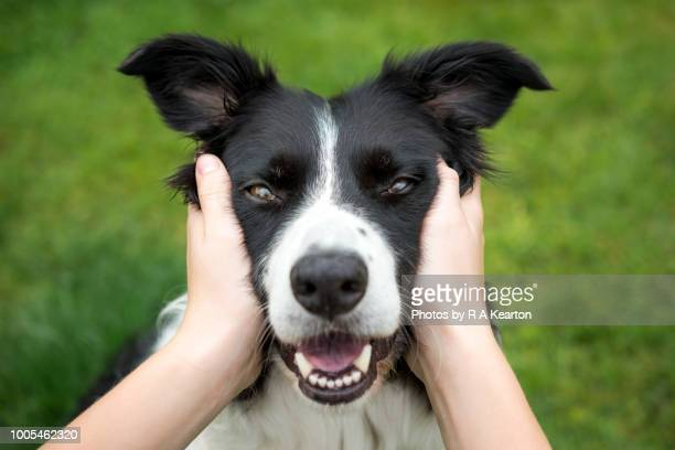 young girl holding head of a beautiful border collie dog - schattig stockfoto's en -beelden