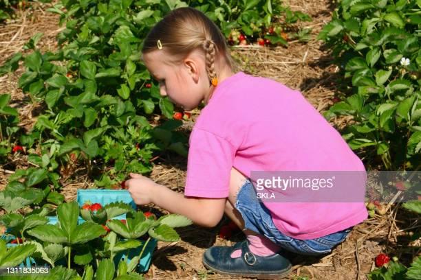 junges mädchen in erdbeerfeld pflücken erdbeeren - istock stock-fotos und bilder
