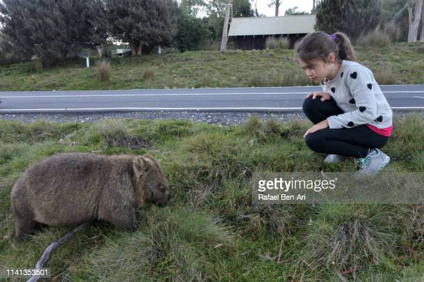 young girl looking at female wombat  in tasmania australia - rafael ben ari stock-fotos und bilder