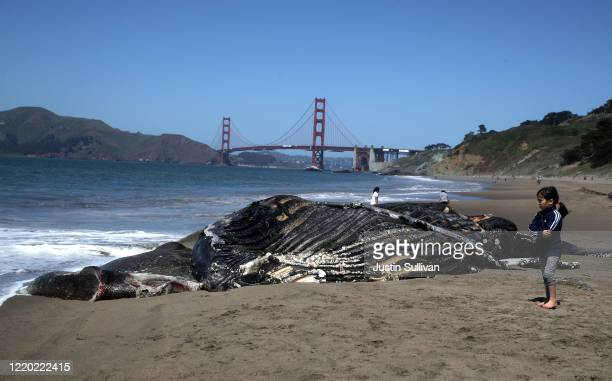 A young girl looks at a dead juvenile Humpback Whale that washed up on Baker Beach on April 21 2020 in San Francisco California Scientists with the...