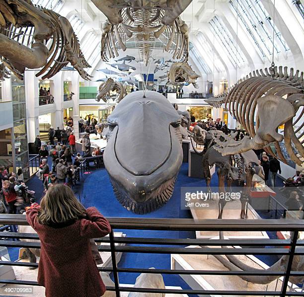 A young girl looks out onto the model of the Blue Whale hanging in the Mammals Gallery in the Natural History Museum London