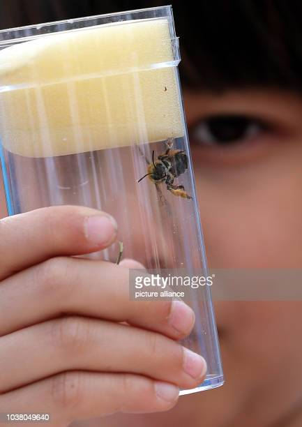A young girl observes a bee in a glass in Berlin Germany 09 June 2015 Before British researcher environmental activist and UNpeace ambassador Jane...
