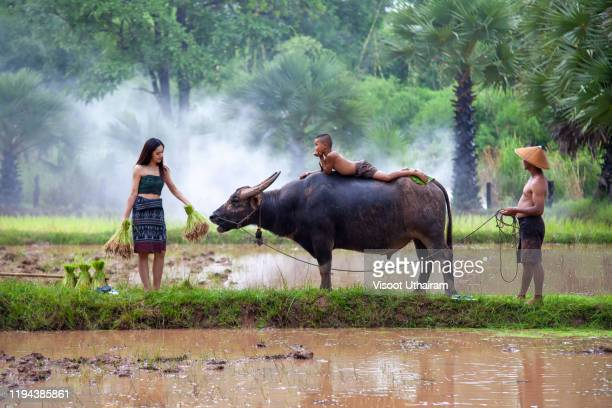 young girl peasant planting farming agriculture on farmland,traditional life of famer in countryside thailand. - wild cattle stock pictures, royalty-free photos & images