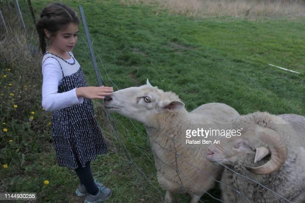 young girl petting sheep - rafael ben ari bildbanksfoton och bilder