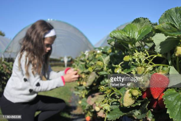 Young girl pick up fresh strawberrie