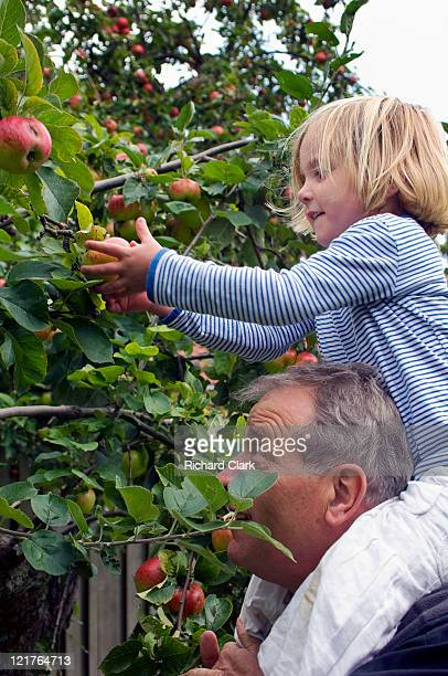 Young girl (4 years old) picking apples with grandfather (55-60 years), September