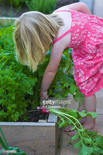 Young girl picking radish from a raised bed MR PR