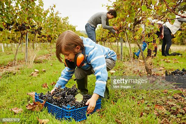 A young girl picking up a crate of grapes from the ground in a vineyard.