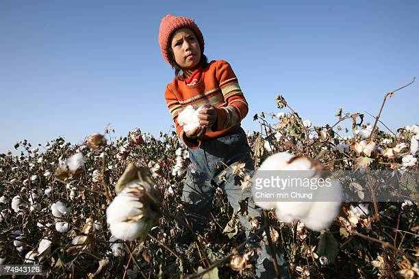 A young girl picks cotton on October 21 2005 in Xinjiang Uyghur Autonomous Region city Maigaiti China Xinjiang is one of China's largest cotton...